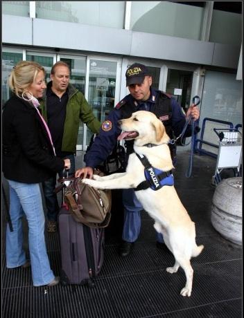 Labrador Retriever Un Cane Socialmente Utile Gentlestep Labrador